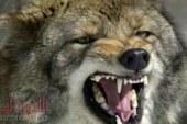 ذئب يهاجم ربة منزل بسوهاج بالارض الزراعية ويفترسها