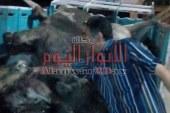 ماشية نافقة بحوزة جزار في الفيوم